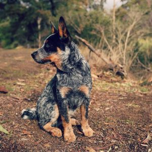 australian-cattle-dog-dog-breed-information-1