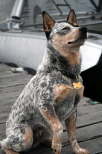 australian-cattle-dog-dog-breed-information-10