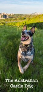 australian-cattle-dog-dog-breed-information-11