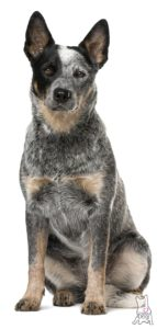 australian-cattle-dog-dog-breed-information-12