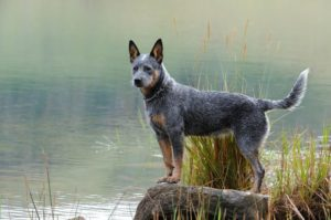 australian-cattle-dog-dog-breed-information-16