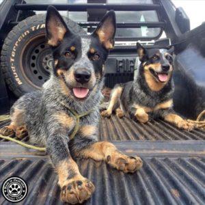australian-cattle-dog-dog-breed-information-17