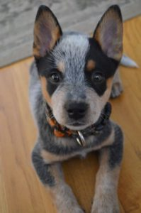 australian-cattle-dog-dog-breed-information-18