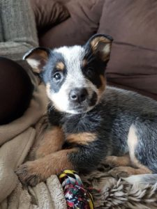 australian-cattle-dog-dog-breed-information-19