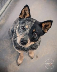 australian-cattle-dog-dog-breed-information-20