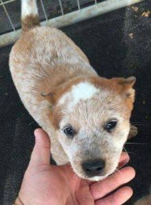 australian-cattle-dog-dog-breed-information-21