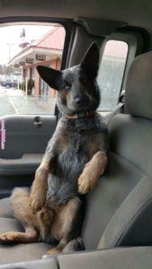 australian-cattle-dog-dog-breed-information-22