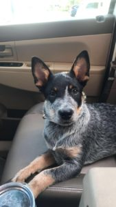 australian-cattle-dog-dog-breed-information-23