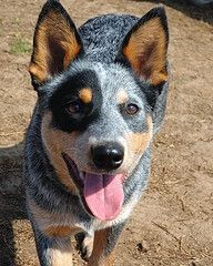 australian-cattle-dog-dog-breed-information-24