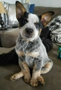 australian-cattle-dog-dog-breed-information-25