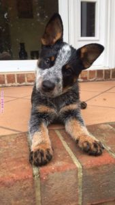 australian-cattle-dog-dog-breed-information-27