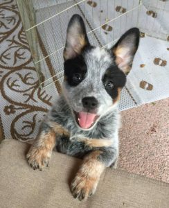 australian-cattle-dog-dog-breed-information-3