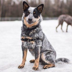 australian-cattle-dog-dog-breed-information-6