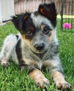 australian-cattle-dog-dog-breed-information-7