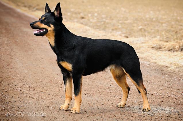 australian-kelpie-dog-breed-information-1   FallinPets