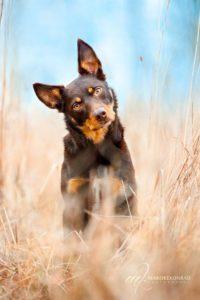 australian-kelpie-dog-breed-information-11