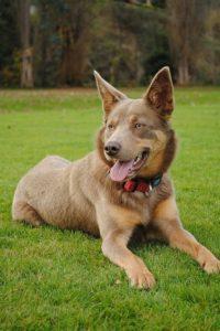 australian-kelpie-dog-breed-information-13