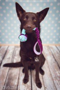 australian-kelpie-dog-breed-information-14