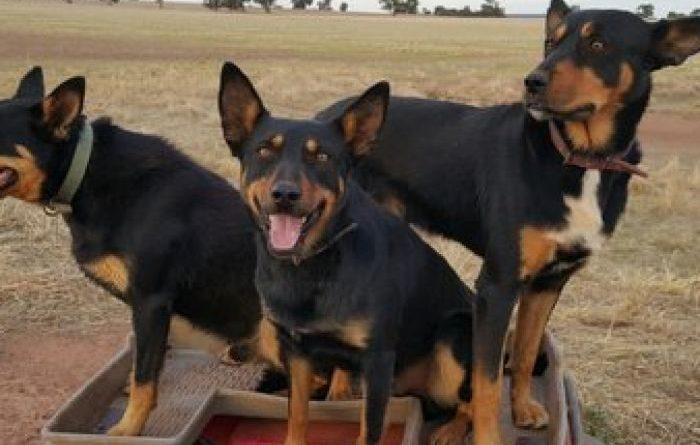 australian-kelpie-dog-breed-information-15