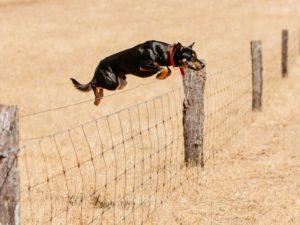 australian-kelpie-dog-breed-information-16