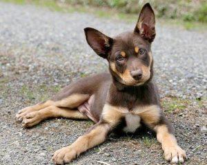 australian-kelpie-dog-breed-information-18