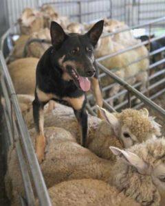 australian-kelpie-dog-breed-information-19