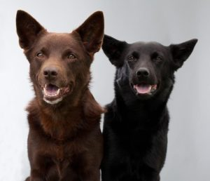 australian-kelpie-dog-breed-information-20