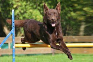 australian-kelpie-dog-breed-information-21