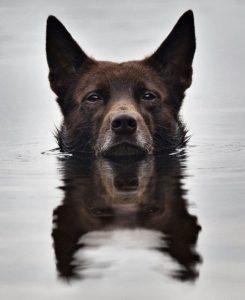 australian-kelpie-dog-breed-information-23