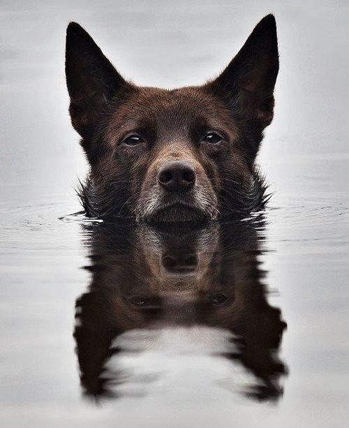 australian-kelpie-dog-breed-information-23   FallinPets