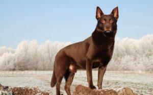 australian-kelpie-dog-breed-information-24