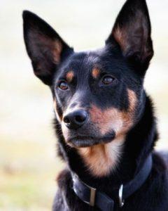 australian-kelpie-dog-breed-information-25