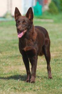 australian-kelpie-dog-breed-information-27
