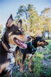 australian-kelpie-dog-breed-information-4