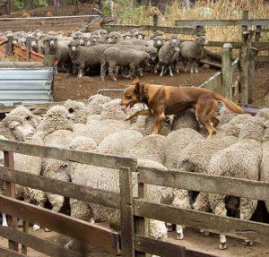 australian-kelpie-dog-breed-information-5