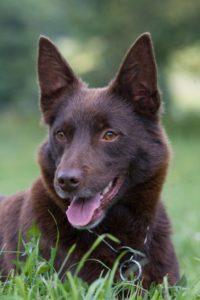 australian-kelpie-dog-breed-information-6