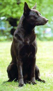 australian-kelpie-dog-breed-information-7