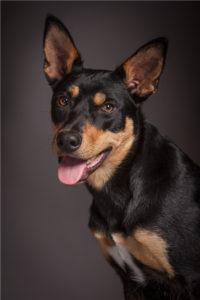 australian-kelpie-dog-breed-information-9