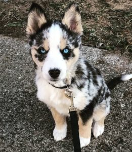 australian-shepherd-dog-breed-information-1