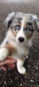 australian-shepherd-dog-breed-information-10