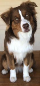 australian-shepherd-dog-breed-information-12