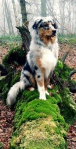 australian-shepherd-dog-breed-information-15