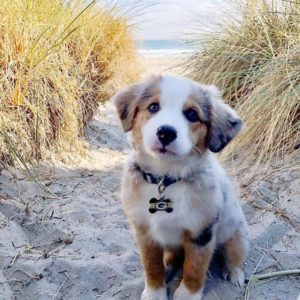 australian-shepherd-dog-breed-information-16