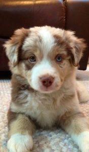 australian-shepherd-dog-breed-information-18
