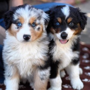 australian-shepherd-dog-breed-information-2