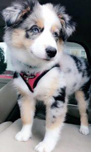 australian-shepherd-dog-breed-information-20