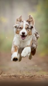 australian-shepherd-dog-breed-information-21