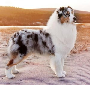 australian-shepherd-dog-breed-information-22
