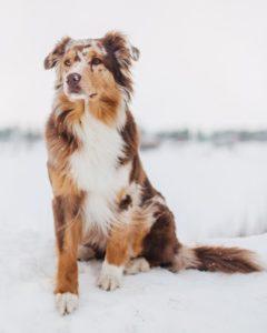 australian-shepherd-dog-breed-information-23