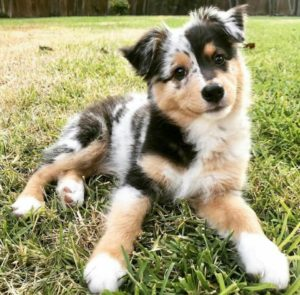 australian-shepherd-dog-breed-information-24